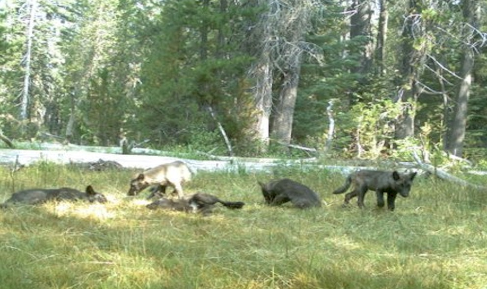 Shasta Pack 2015 Wolf Pack: Wolves Found in California Siskiyou County